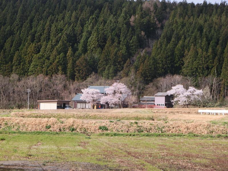 関川村に春が来た