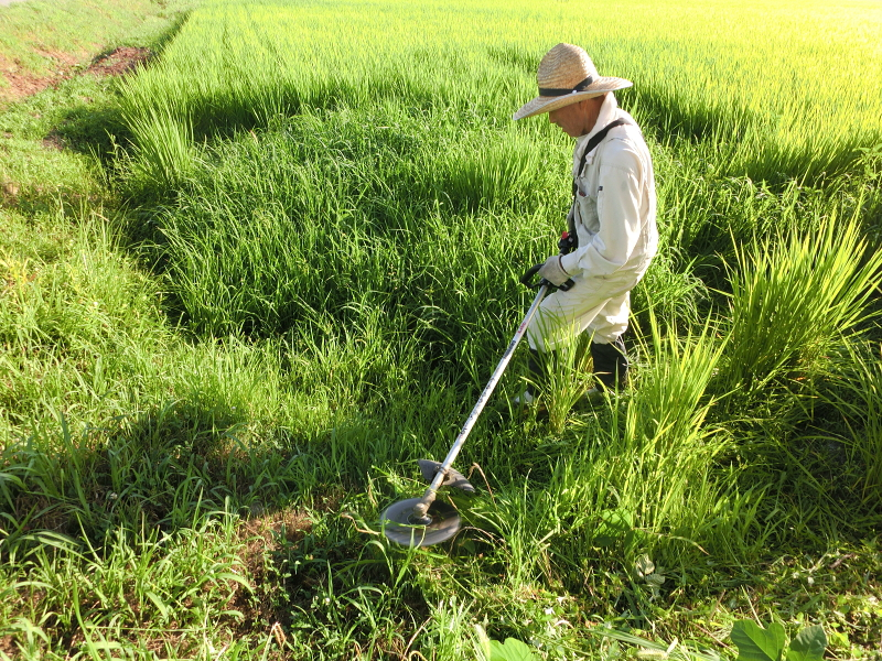 稗の草刈り
